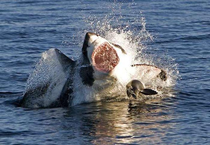 Картинки охота на акулу
