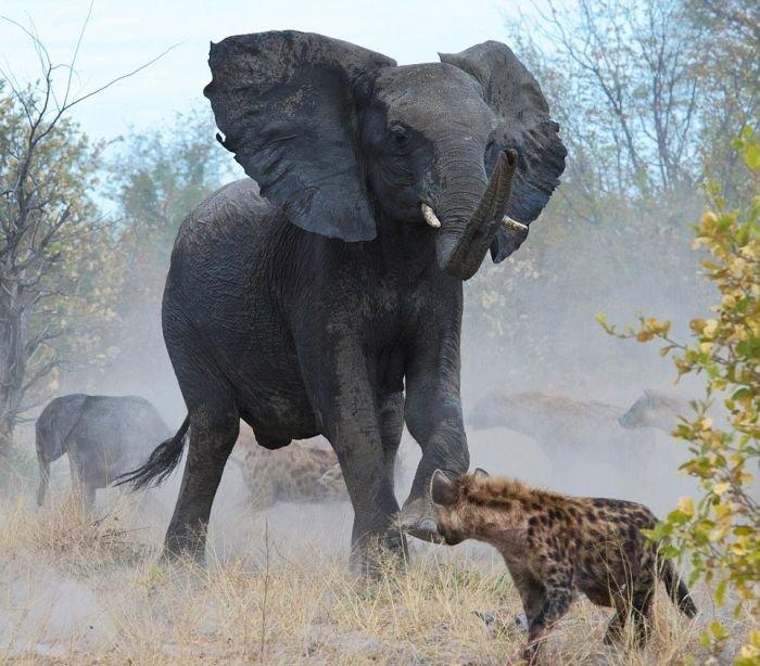 Слониха против гиен (7 фото)