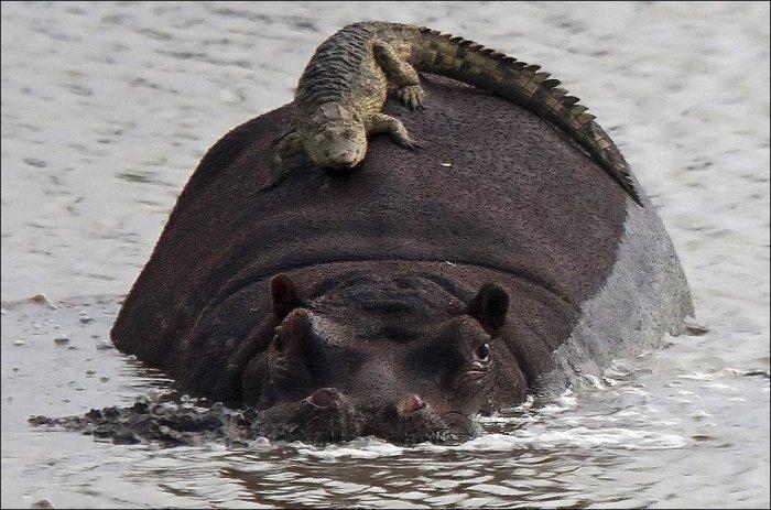 Смелый крокодил (2 фото)