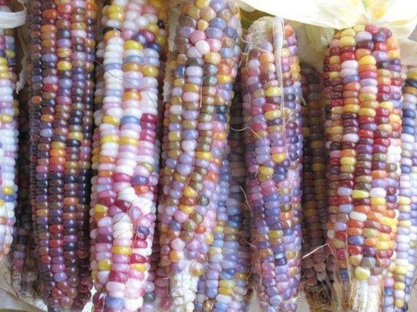 Странная кукуруза (3 фото)