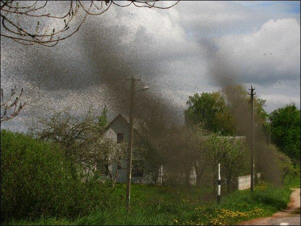 Тучи комаров в минской области (17 фото)