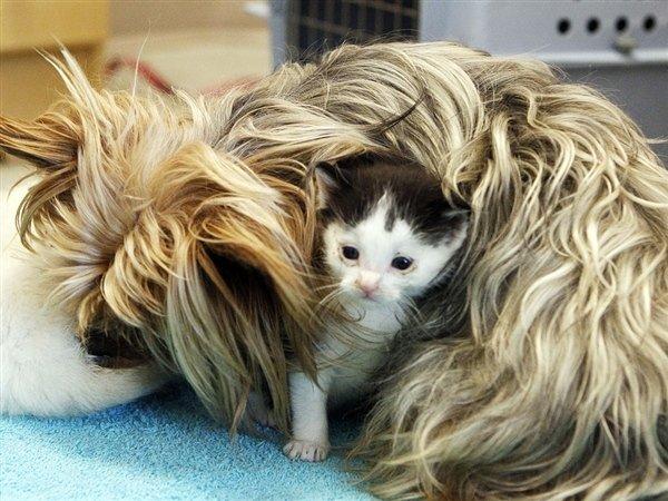 Йоркширский терьер и котята (9 фото)