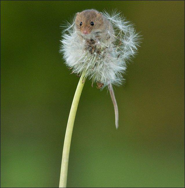 Мышь-полевка на одуванчике (3 фото)