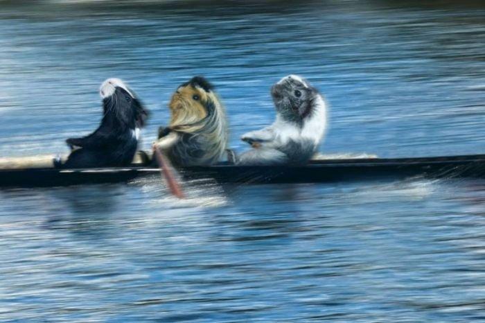 Морские свинки на Олимпиаде (12 фото)