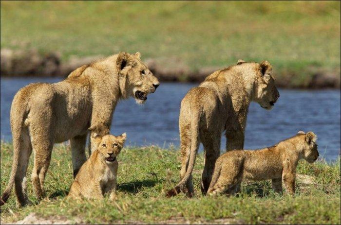 Львица против крокодила (11 фото)