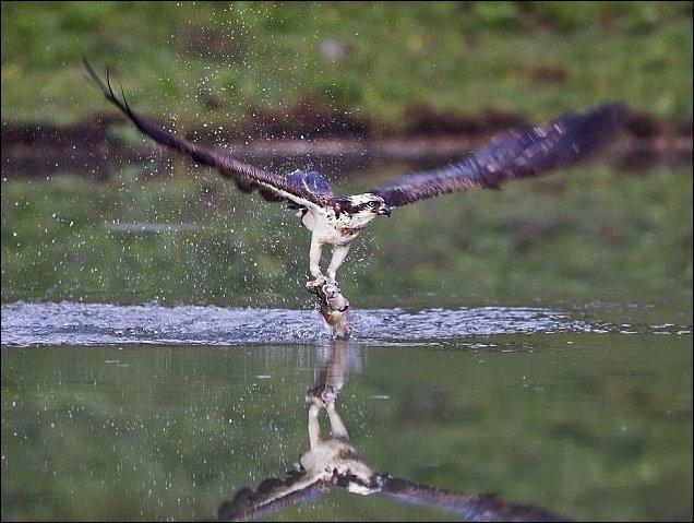 Скопа на рыбалке (7 фото)