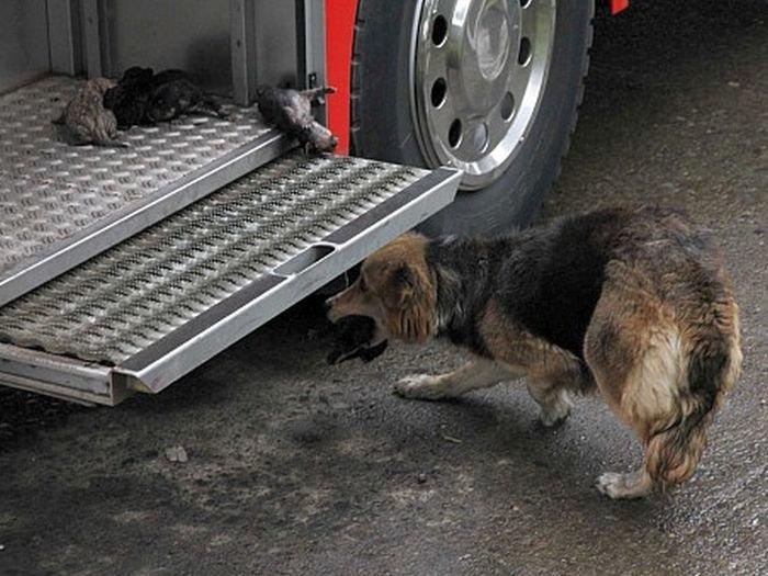 Собака вытащила щенят из огня (5 фото)