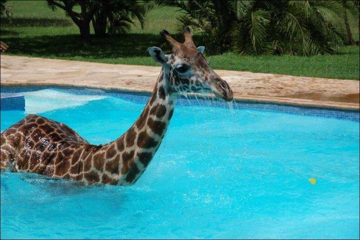 Жираф решил освежиться (6 фото)