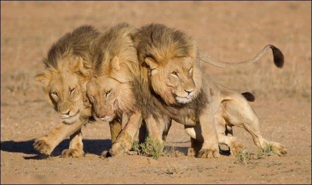 Цари зверей нализались (4 фото)