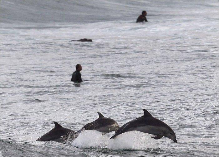 Серфинг с дельфинами (5 фото)