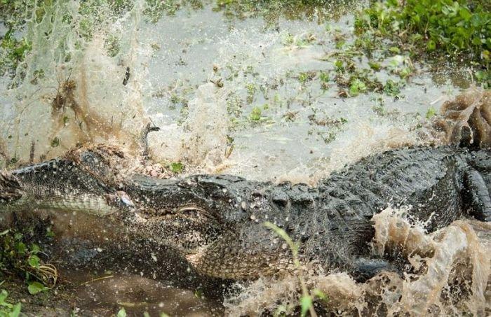 Крокодил сожрал товарища (6 фото)