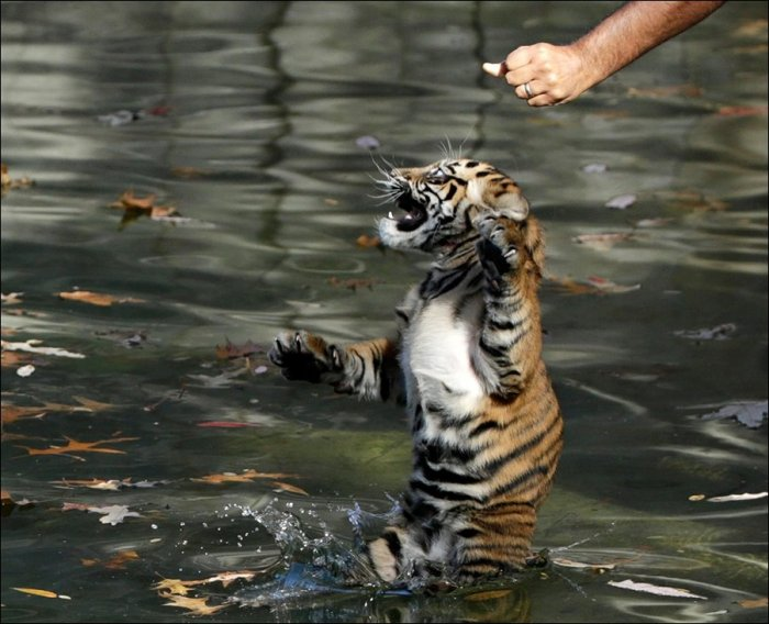 Тигрята купаются (4 фото)