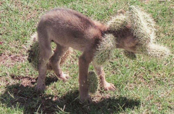 Спасение койота от кактусов (2 фото)