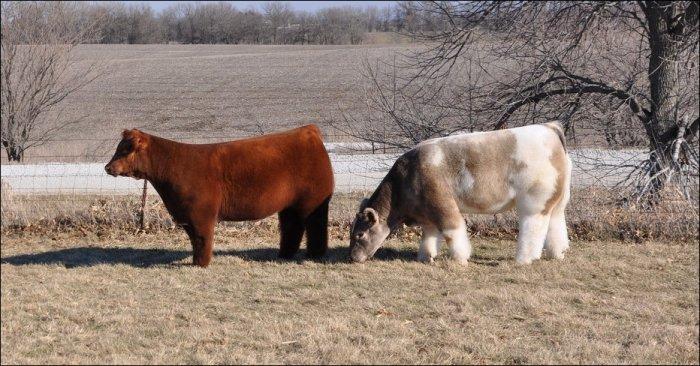 Пушистые коровки (9 фото)