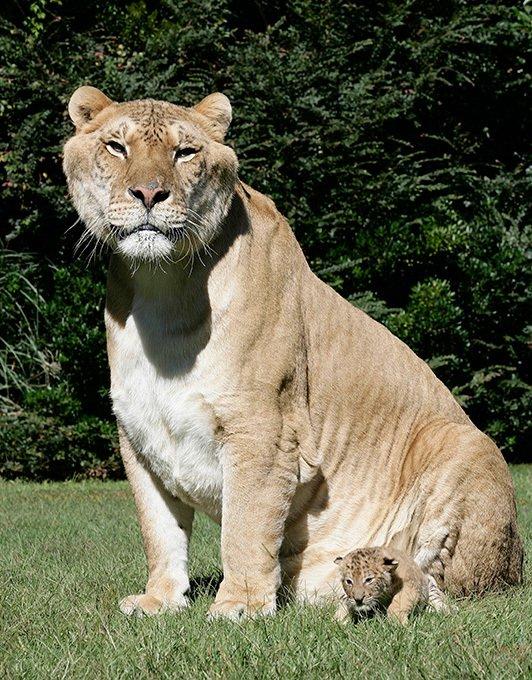 Лигр - самая большая кошка (10 фото)