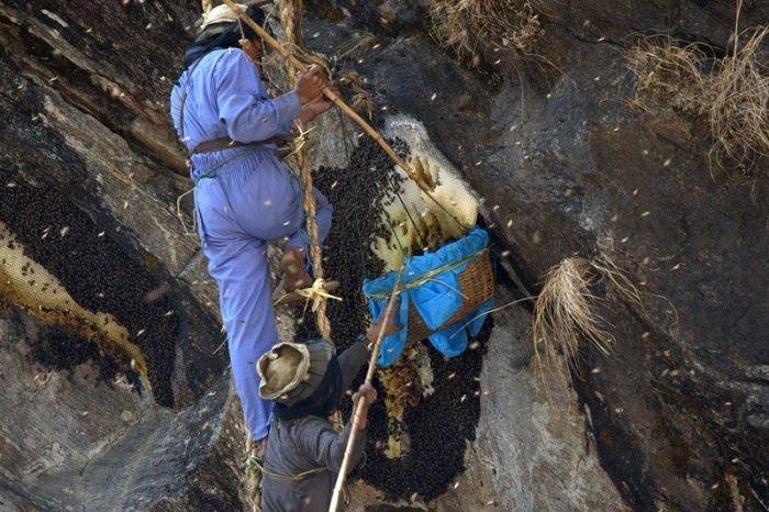 Добыча меда гималайских пчел (24 фото)