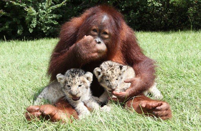 Дружба орангутана и диких котят (11 фото)