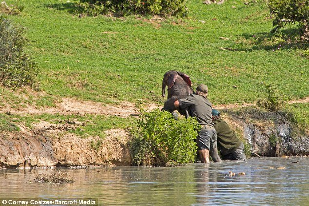 Спасение маленького слоненка (11 фото)