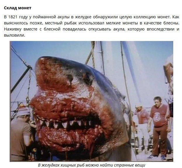 Что находили в желудках акул (8 фото)