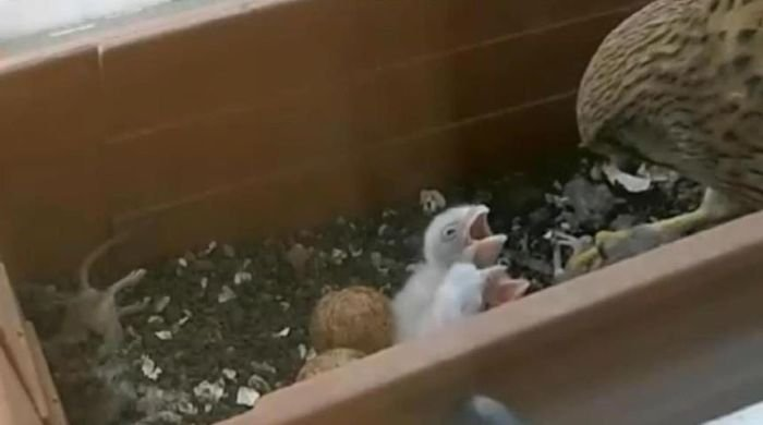 Гнездо в неожиданном месте (6 фото)