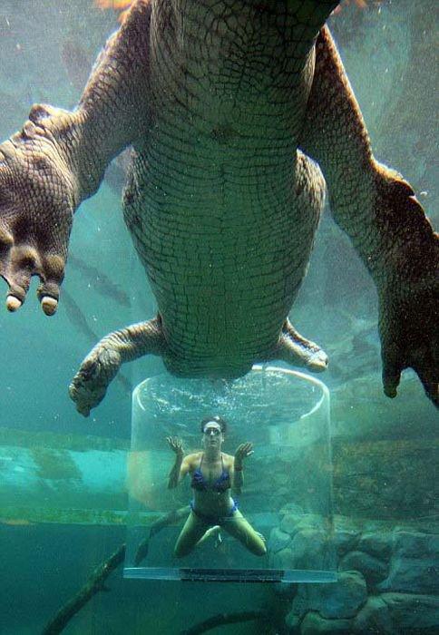 Купание с крокодилами (12 фото)