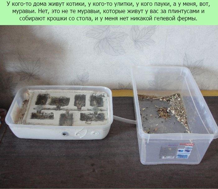 Муравьи как домашнее животное (11 фото)
