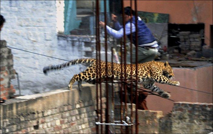 Леопард атакует (5 фото)