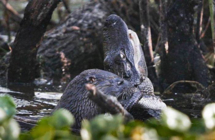 Выдра против крокодила (8 фото)