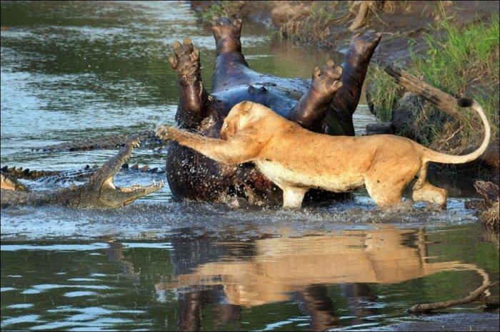 Крокодилы и львица делят бегемота (3 фото)