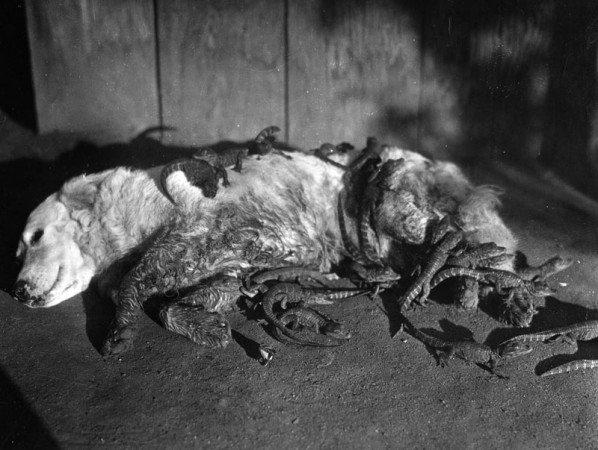 Ферма аллигаторов в 1920 году (9 фото)
