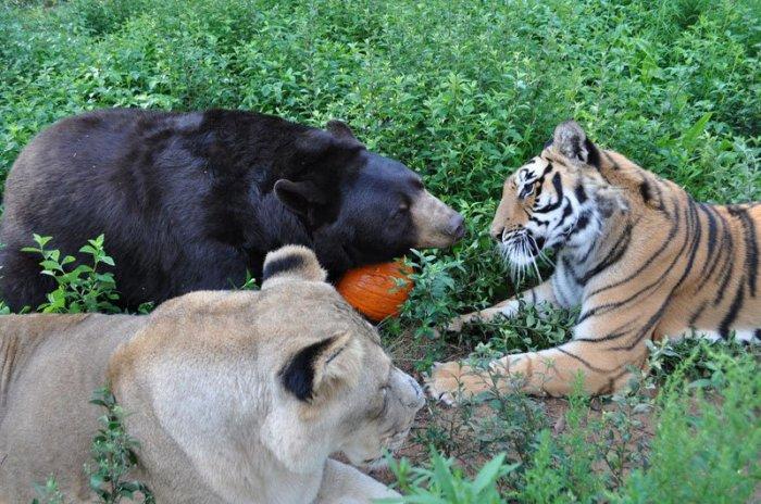 Дружба тигра, льва и медведя (14 фото)