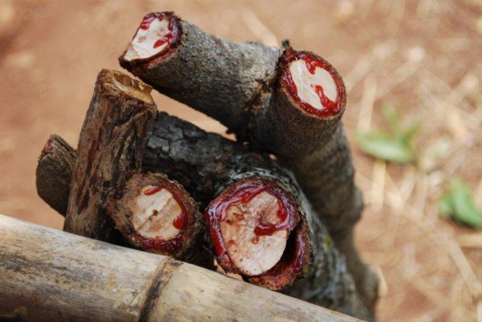 Кровавое дерево (7 фото)