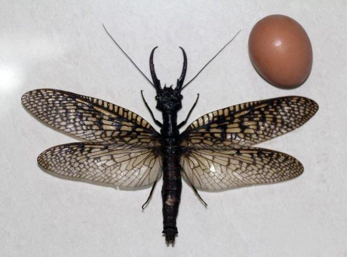 Огромное насекомое (5 фото)