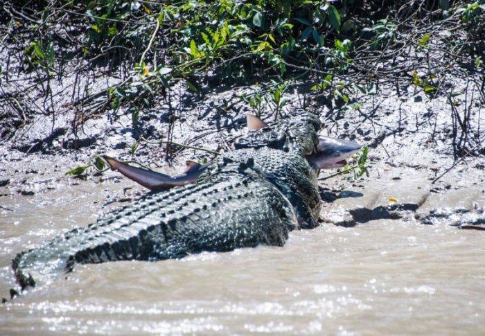 Крокодил против акулы (15 фото)