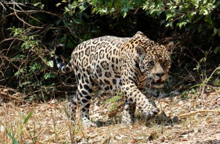 Ягуар против крокодила (7 фото)
