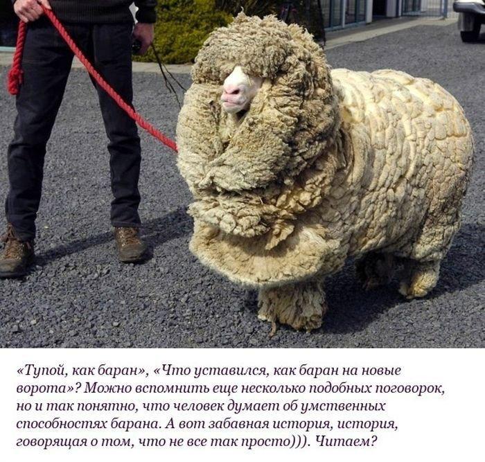 История удивительного барана (10 фото)