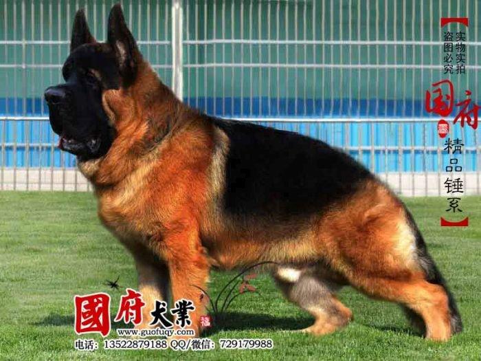 Китайские немецкие овчарки (12 фото)