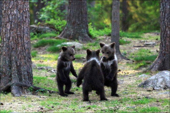 Медвежьи танцы (7 фото)