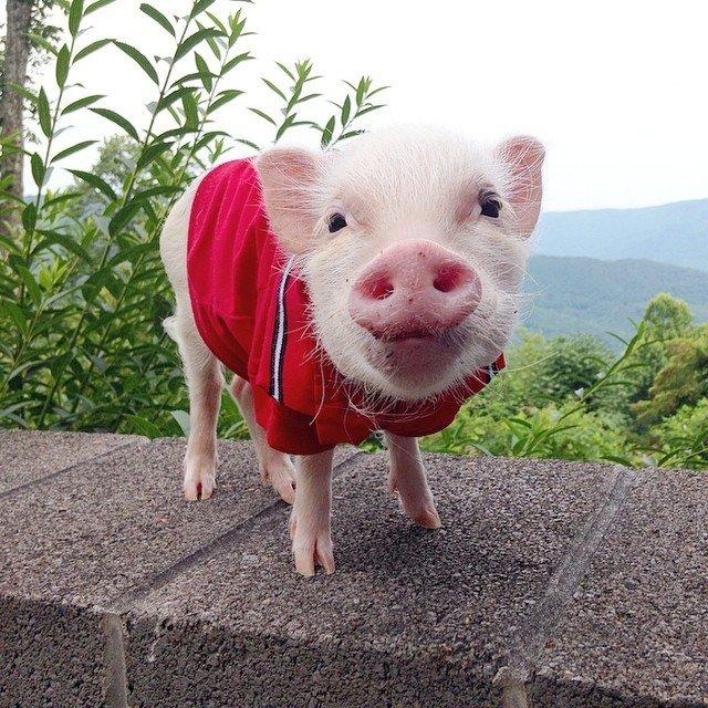 Картинки прикольные свинья, тремя месяцами девочке