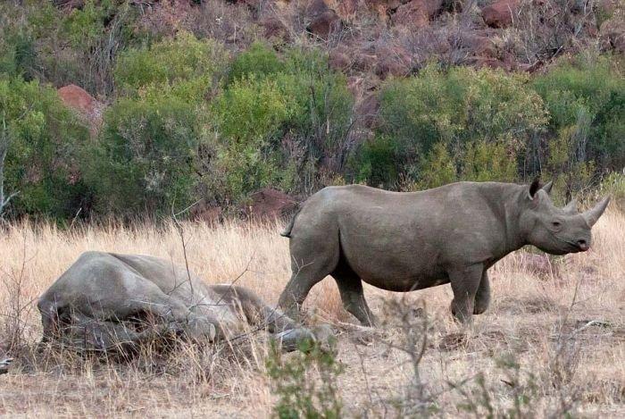 Слон против носорога (11 фото)