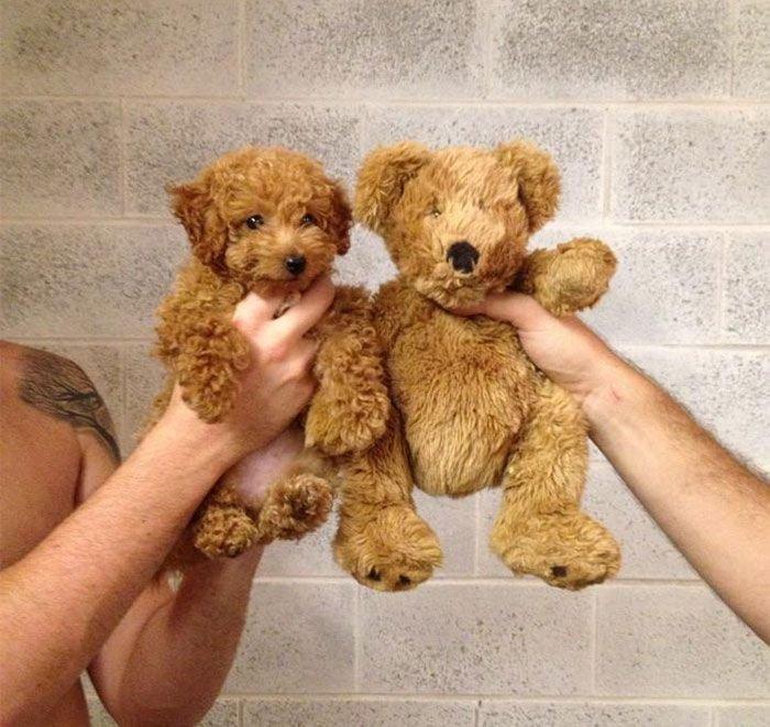 Собаки похожи на... (11 фото)