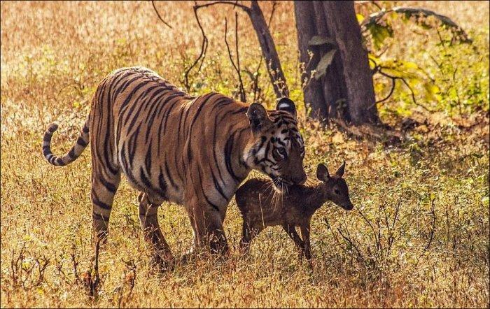 Тигр и олень (7 фото)