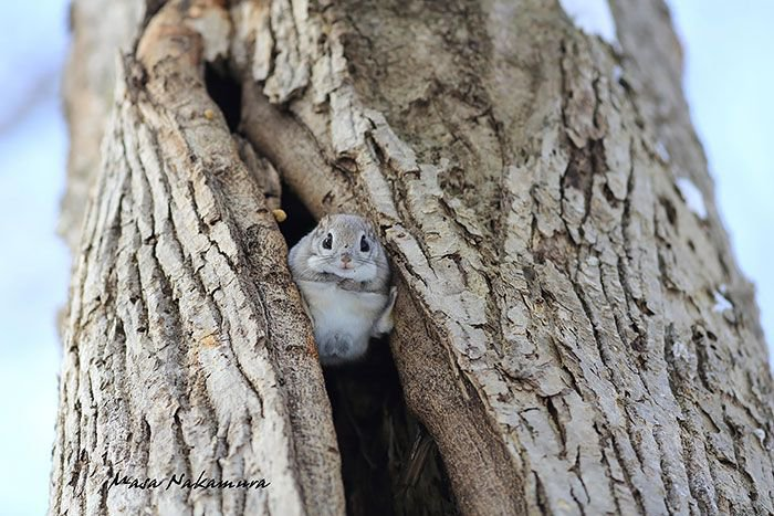 Сибирские белки-летяги (12 фото)