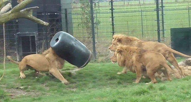 Лев с бочкой на голове (6 фото)
