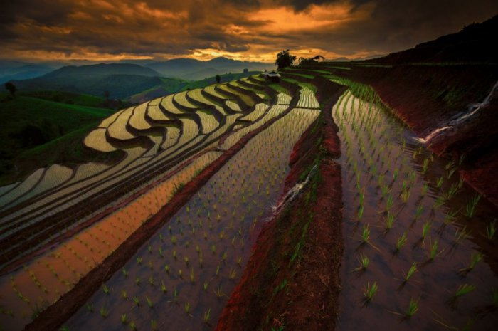 Рисовые поля (8 фото)