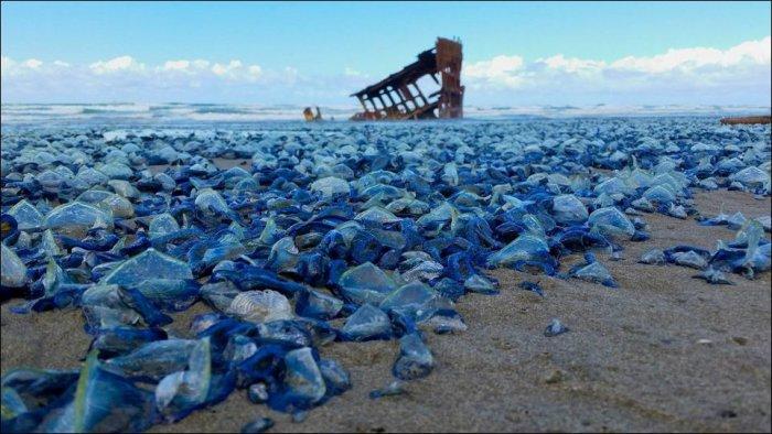 Тысячи медуз на пляжах Орегона (5 фото)