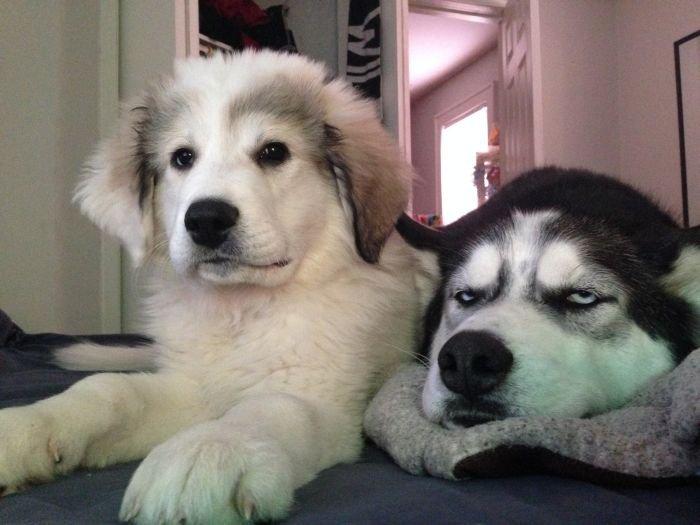 Когда в доме появился второй пес (4 фото)