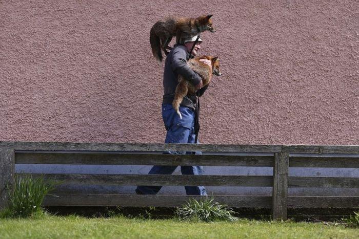 Ручные лисы (10 фото)