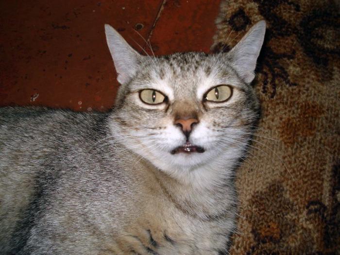 'Кошачьи