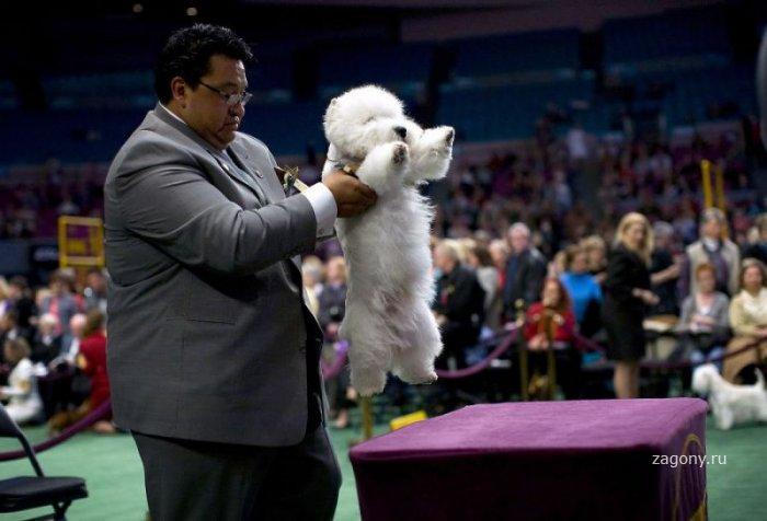 Выставка собак «Вестминстер Кеннел Клаб» (35 фото)